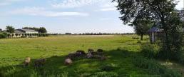 Midden-Delfland schapen zomer